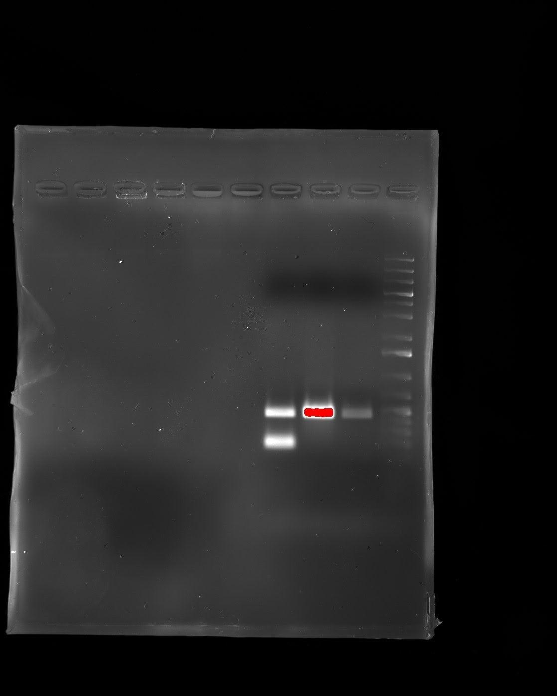 Initial PCR of Salmonella genome