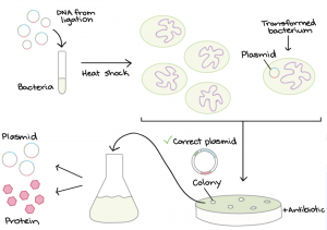 Illustration of bacterial transformation process