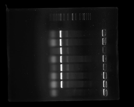 Eight colonies with pLC001