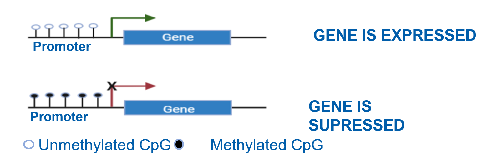 Unmethylated CpG promoter - gene is expressed. Methylated CpG - gene is supressed