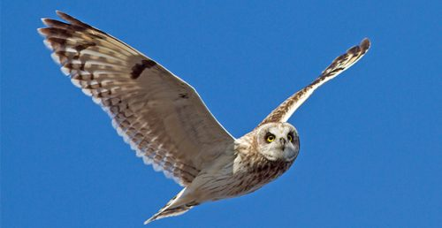 An owl flying in the sky!