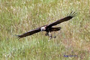 Golden eagle in flight over a field of grass, photograph